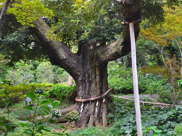 椿山荘ご神木