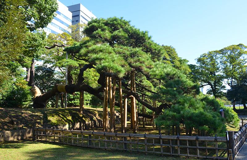 浜離宮恩賜公園、三百年の松
