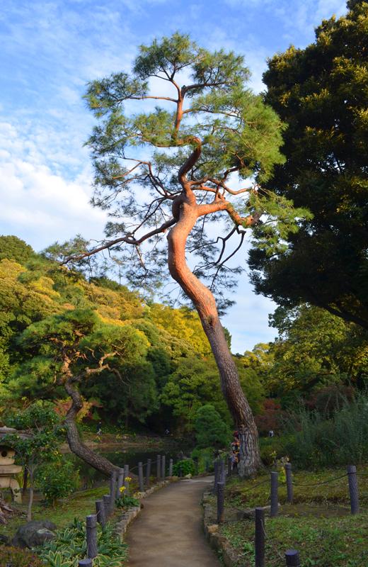 肥後細川庭園の松の木
