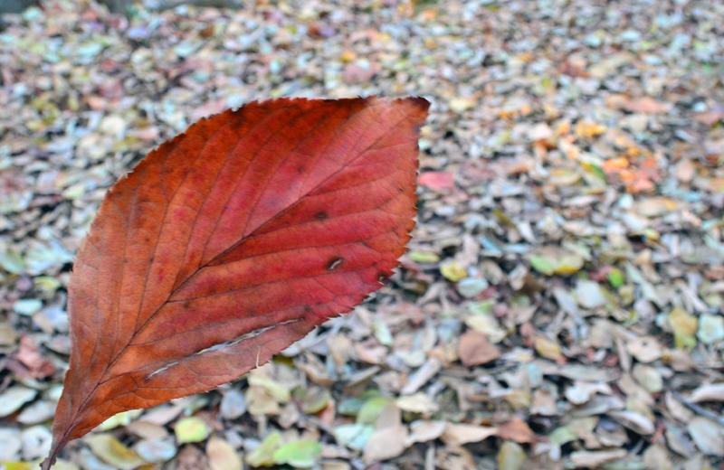 上野公園の落ち葉