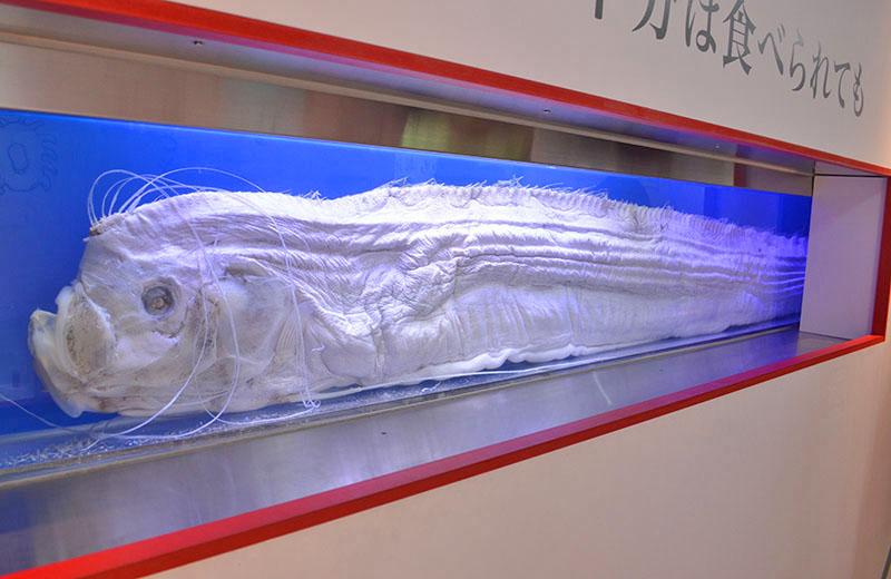 リュウグウノツカイは、身体の半分はたべられてもしかたないと思っている【ざんねんないきもの展】
