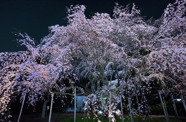 ライトアップされた枝垂れ桜(六義園)