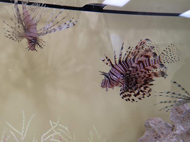 ハナミノカサゴ/へんないきもの展3サンシャイン水族館
