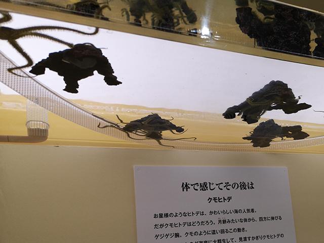 クモヒトデ/へんないきもの展3サンシャイン水族館