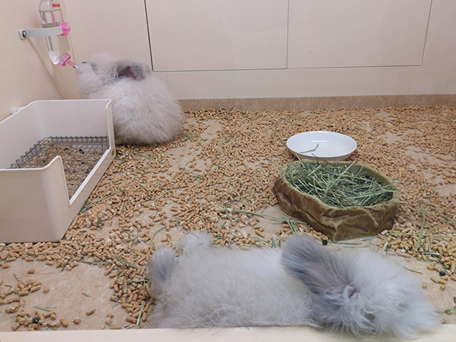 アンゴラウサギ/へんないきもの展3サンシャイン水族館