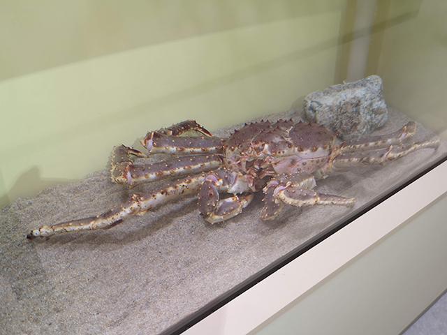 タラバガニ/へんないきもの展3サンシャイン水族館