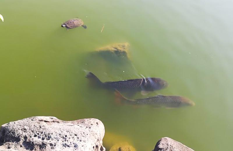 鯉/清澄白河庭園