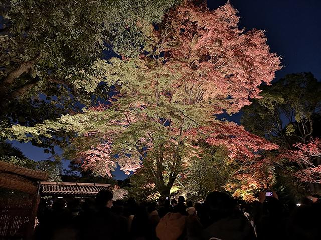 夜のしだれ桜/六義園ライトアップ